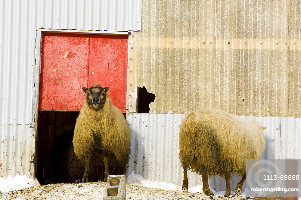 Sheep in front of stable, Iceland
