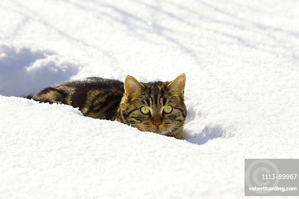 Cat in snow, domestic cat, male, Germany