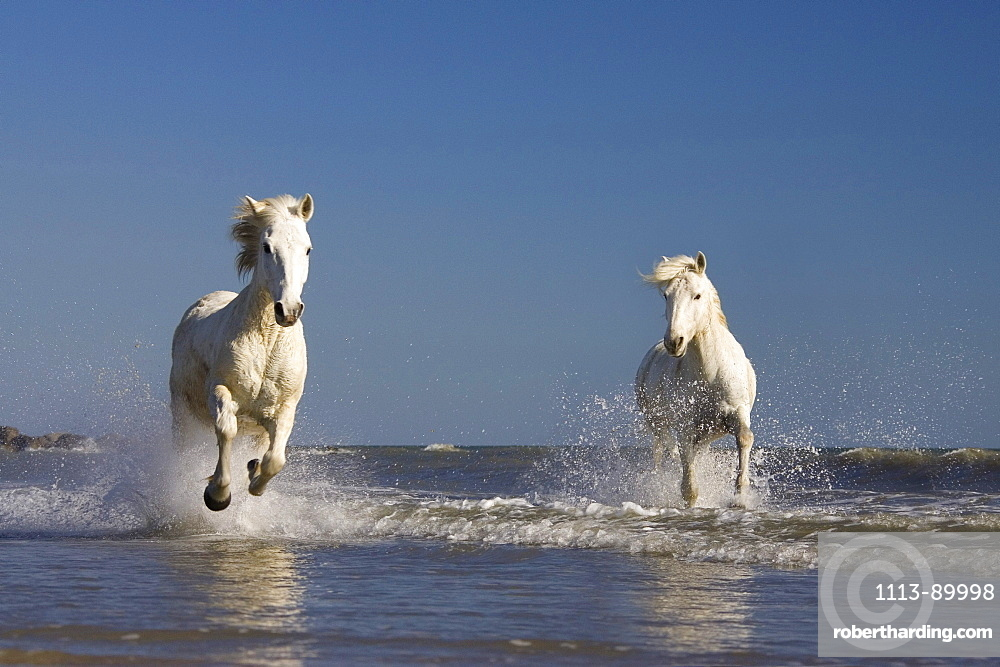 Camargue horses running in water at beach, Camargue, France