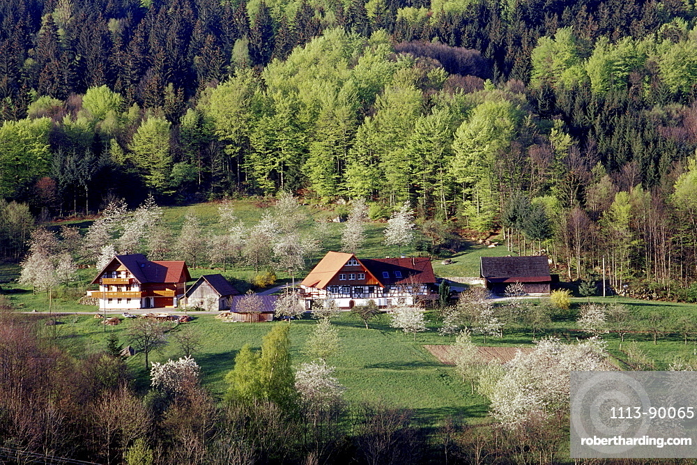Typical house in the Black Forest with cherry blossom, Sasbach, Achern, Black Forest, Baden Wuerttemberg, Germany
