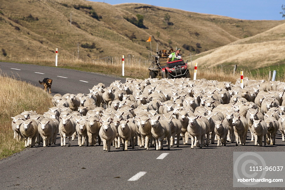 Farmer with working dogs rounding up a flock of sheep on the road, North Island, New Zealand