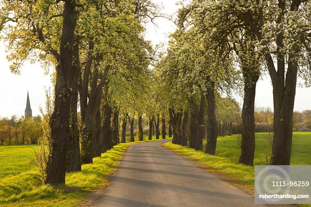 Allee of pear trees, Munsterland, North Rhine-Westphalia, Germany