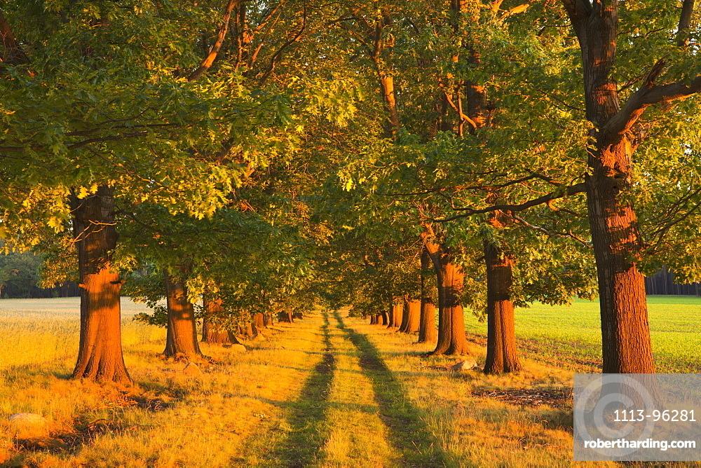 Alley of red oaks, Niederlausitz, Brandenburg, Germany