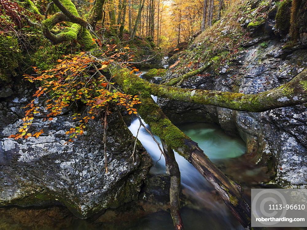 Overturned beech tree on limestone rocks of the deep mountain stream Suha in the Triglav National Park, Gorenjska, Slovenia