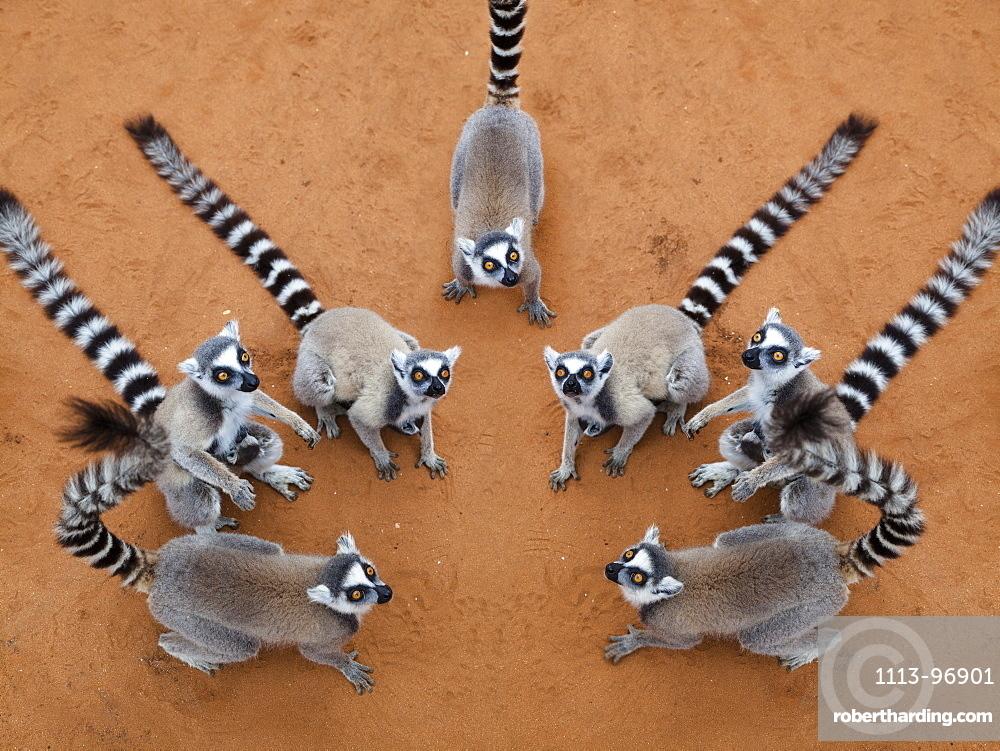 Ringtailed Lemurs Lemur catta, Berenty Reserve, South Madagascar, Africa, digital composing