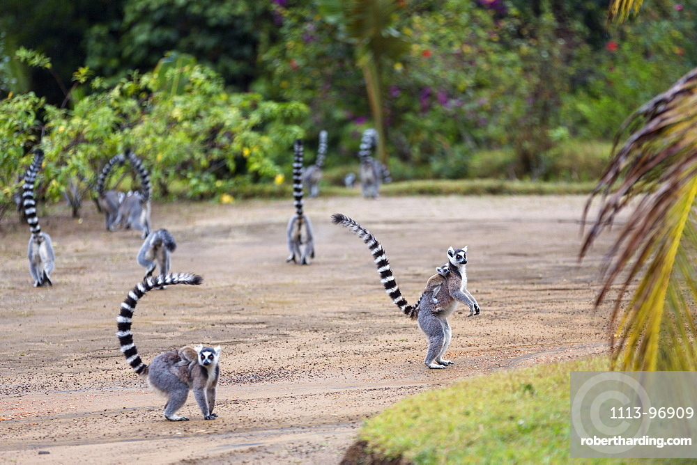 Ringtailed Lemurs with baby, Lemur catta, Nahampoana Reserve, South Madagascar, Africa
