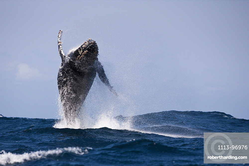 Breaching Humpback Whale, Megaptera novaeangliae, Indian Ocean, Wild Coast, South Africa
