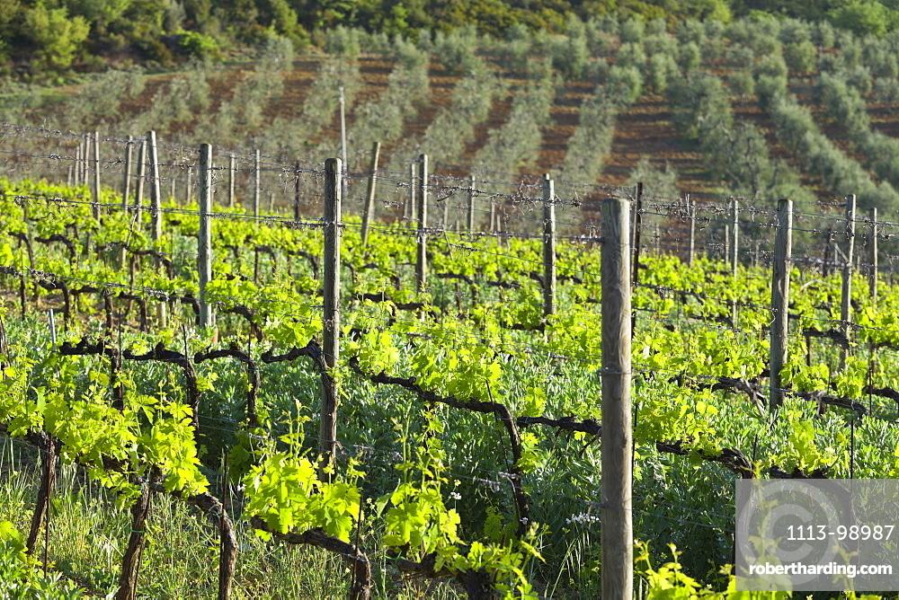 Wine growing near Castelnuovo Dellabate, Tuscany, Italy
