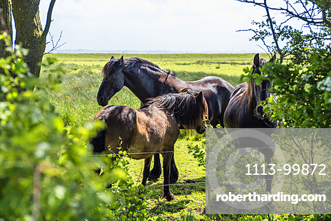 Horses on a paddock, Langeoog Island, North Sea, East Frisian Islands, East Frisia, Lower Saxony, Germany, Europe