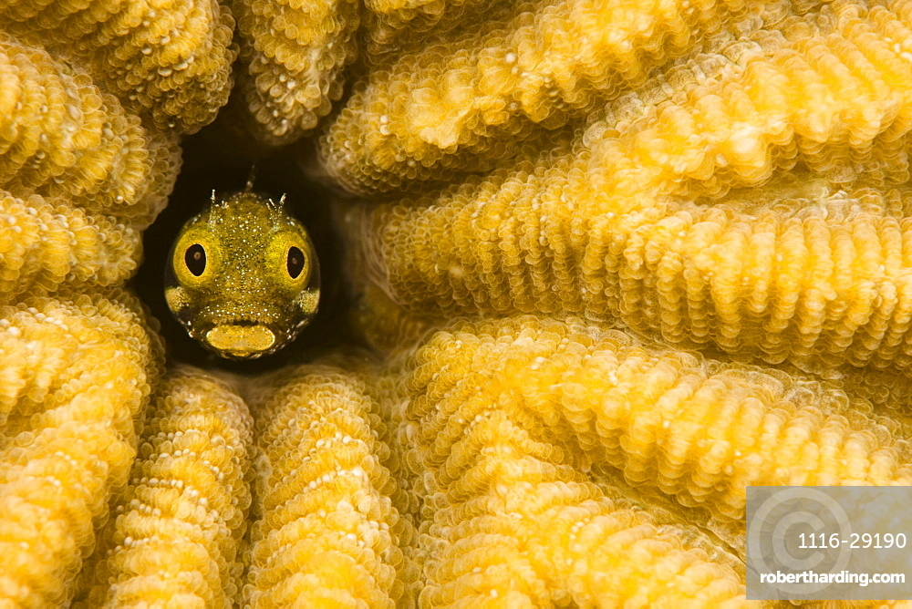 Caribbean, Bonaire, Blenny fish looking out from reef.