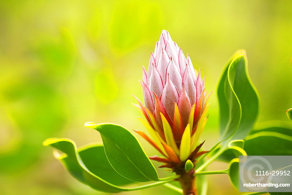 Hawaii, Maui, Close-up of King Protea Bud.