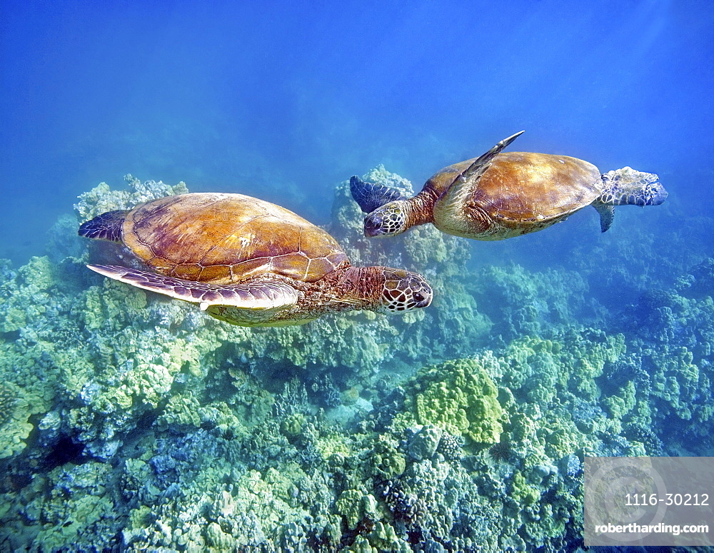 Hawaii, Two green sea turtles, (Chelonia mydas) an endangered species.