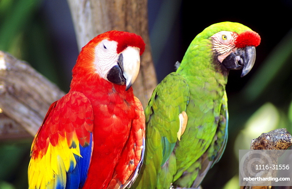 Two colourful green and red parrots standing on tree limb.
