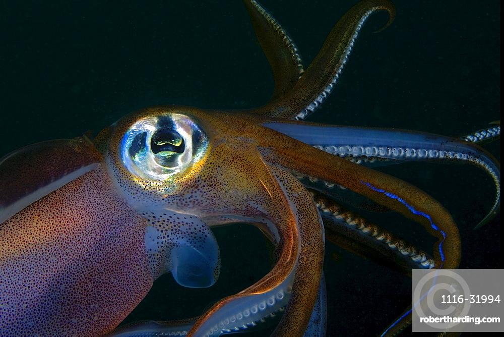 Indonesia, Banda Sea, Banda Niera Island, Reef squid (sepioteuthis lessonia) at night.