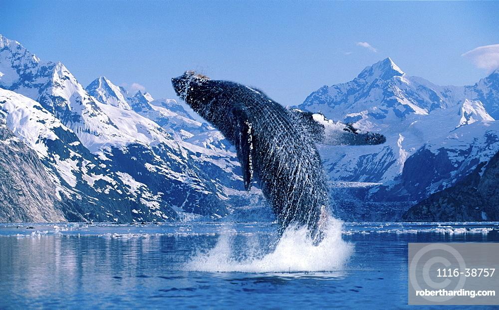 [DC] Humpback Whale (Megaptera novaeangliae) breaching snowcapped mountains background C2040