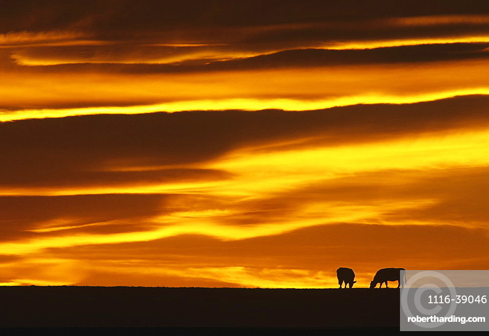 Livestock - Two beef cows silhouetted by the sunset graze on a pasture / near Choteau, Montana, USA.