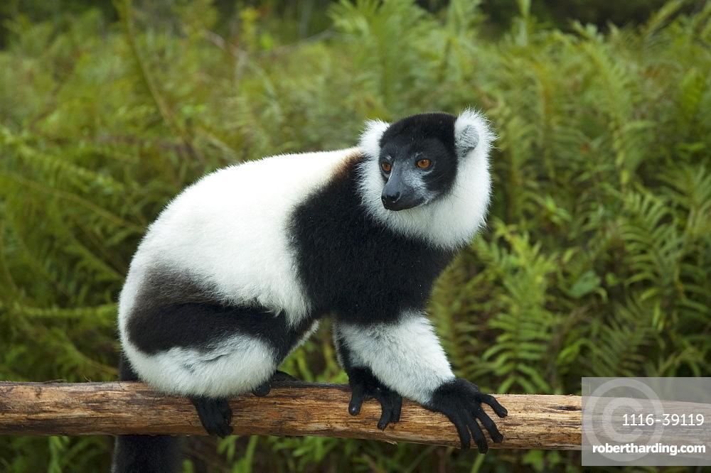 Ruffed Lemur (Varecia Variegata), Andasibe-Mantadia National Park, Toamasina Province, Madagascar