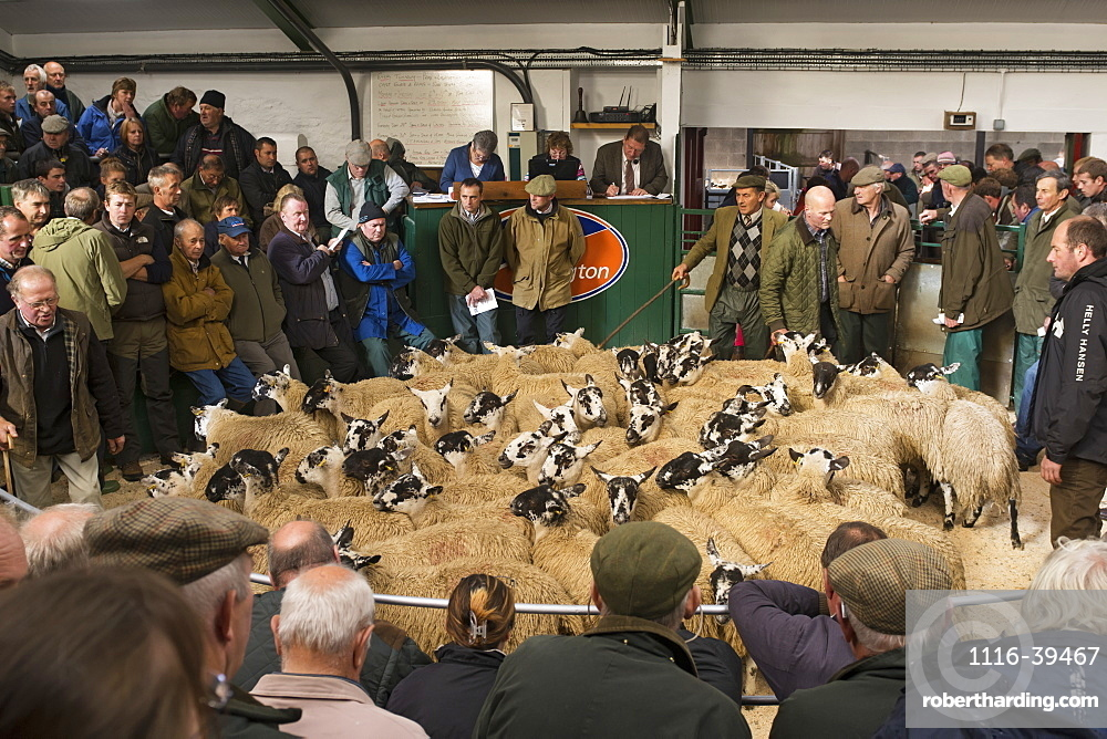 Mule gimmer lambs selling at Hawes auction, North Yorkshire, England