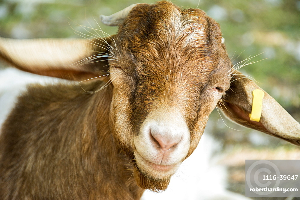Close-up of a cute brown goat's (Capra aegagrus hircus) head with a yellow tag on it's ear, Waupoos, Ontario, Canada