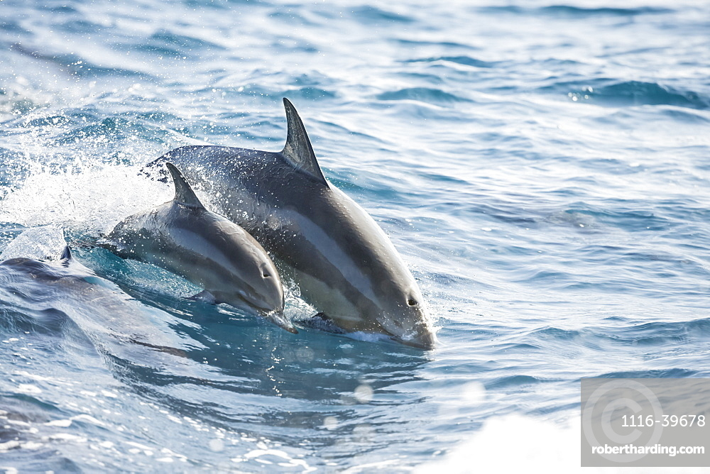 A young Spinner Dolphin (Stenella longirostris), leaps into the air beside it's mother, off the island of Lanai, Lanai, Hawaii, United States of America