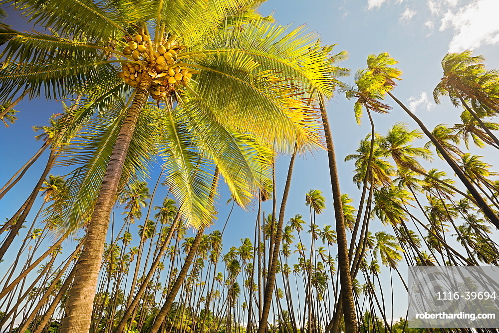 Kapuaiwa Coconut Beach Park, an ancient Hawaiian coconut grove planted in the 1860s during the reign of King Kamehameha V. With hundreds of coconut palm trees, this is one of the island's most recognizable natural landmarks, Kaunakakai, Molokai, Hawaii, U