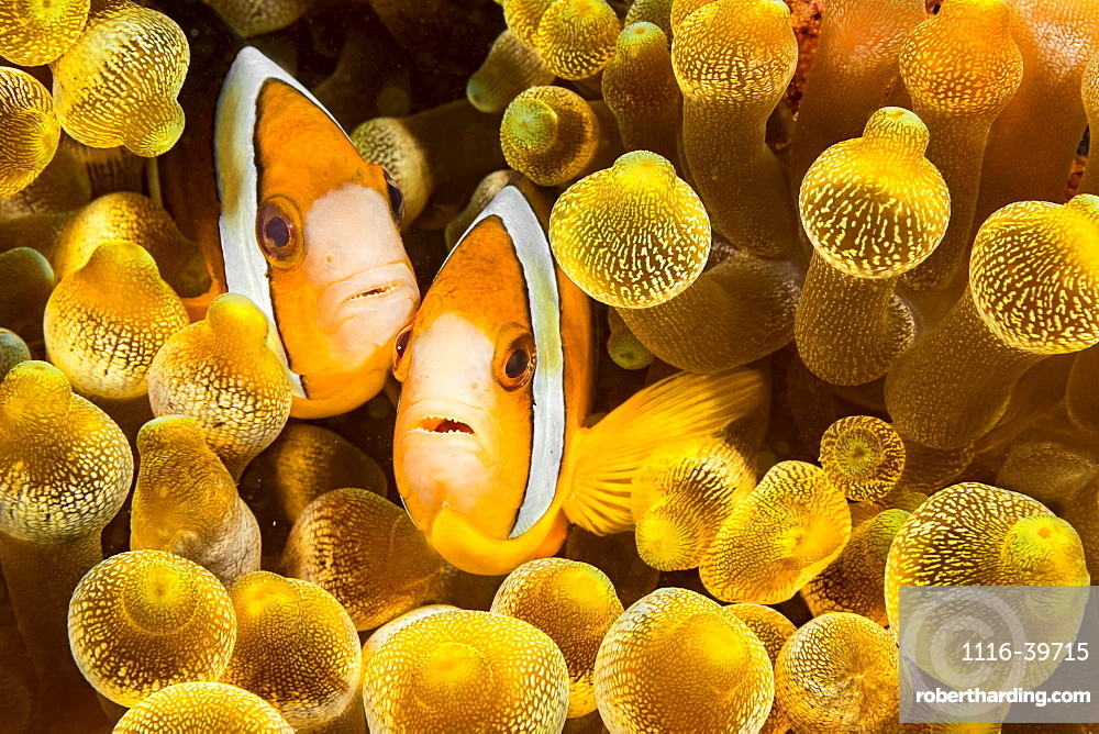 Clark's anemonefish (Amphiprion clarkii) in sea anemone (Entacmaea quadricolor), Philippines