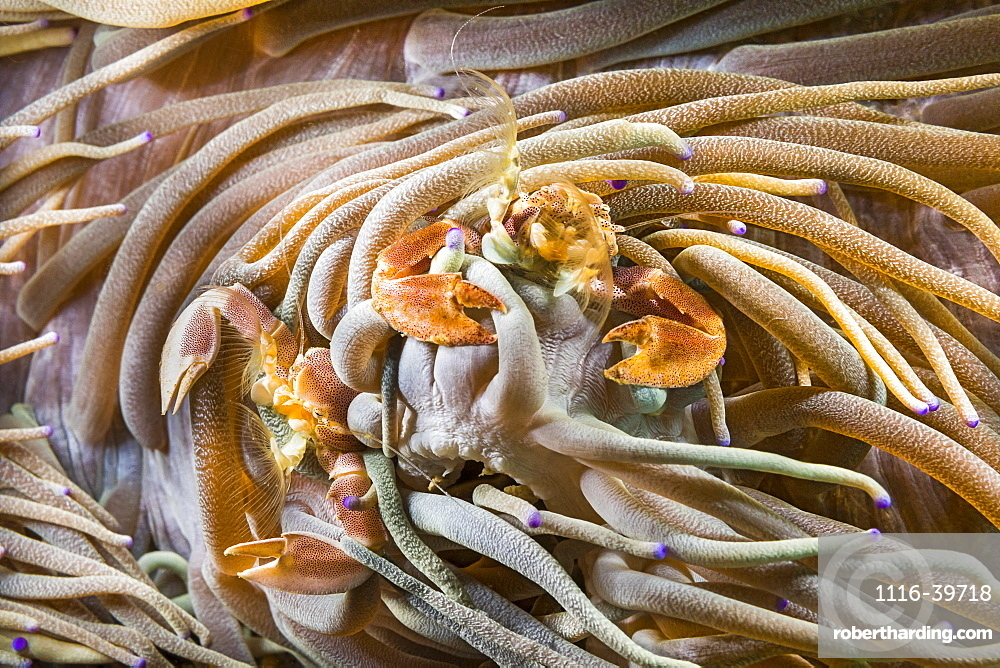 Male and female porcelain crabs (Neopetrolisthes maculatus) are commensal in sea anemones, Philippines