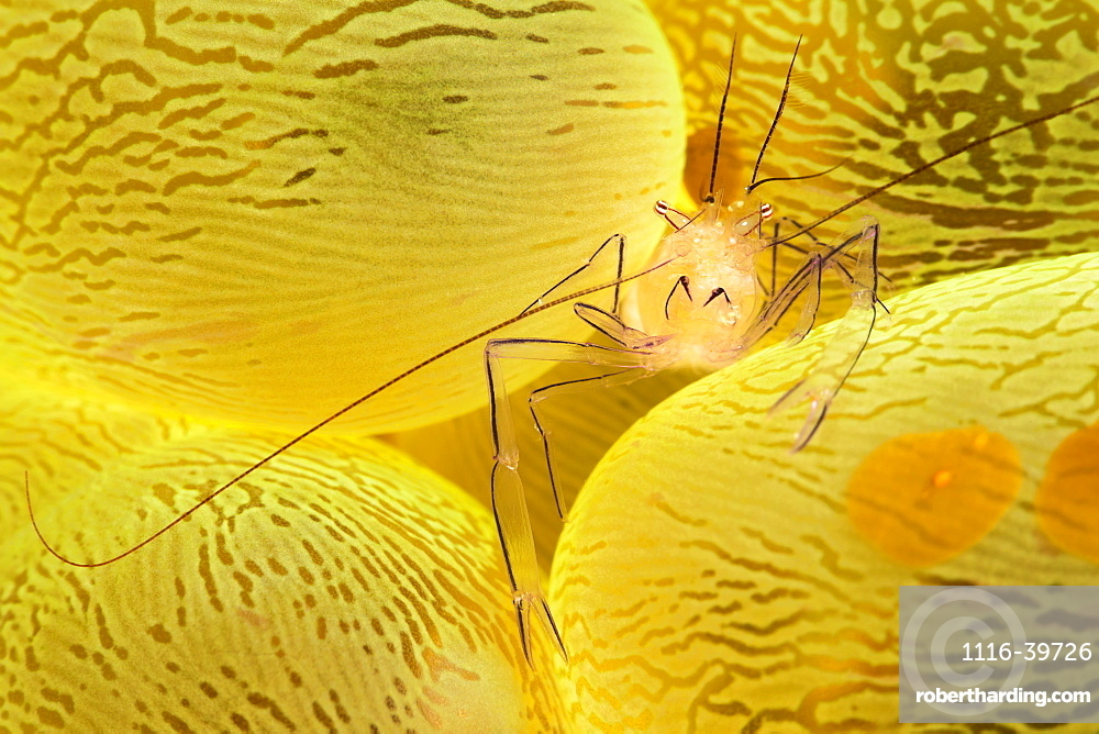 The Bubble Coral Shrimp (Vir philippinensis) is found only on this species of coral, Pleurogyra sinuosa. The brown oval objects are actually Acoel Flatworms (Waminoa sp) that feed on nutrients trapped in mucus covering the coral, Philippines