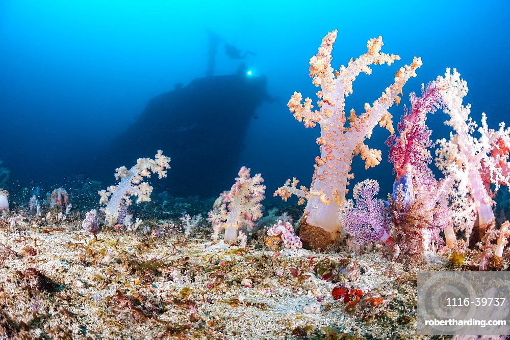 Alcyonarian coral stands upright on the bottom at 100 feet while divers in the background explore the wreck of the Alma Jane off Sabang Beach, Puerto Galera, Mindoro, Philippines