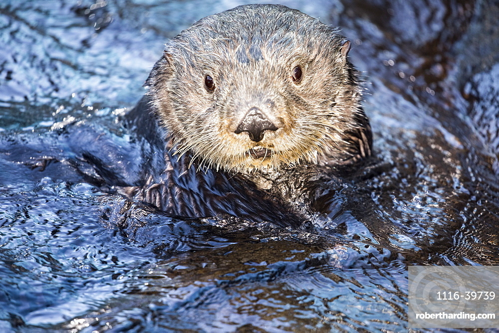 California Sea Otter (Enhydra lutris) in the water looking up at the camera, Monterey, California, United States of America
