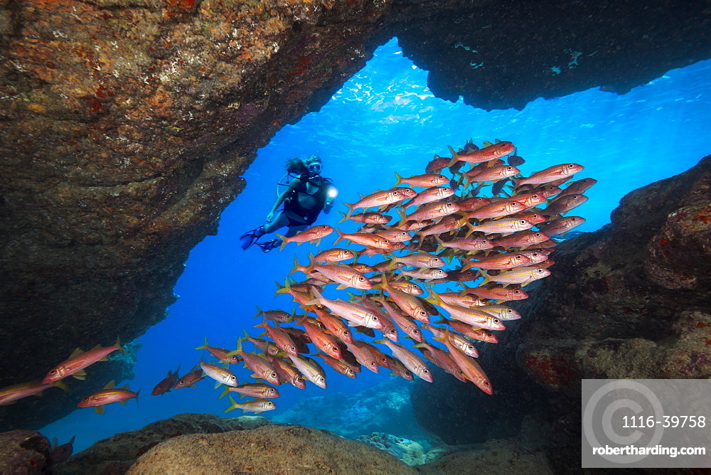 Diver and schooling Yellowfin Goatfish (Mulloidichthys vanicolensis). This species turns red at night and when they are in caves during the day, Kauai, Hawaii, United States of America
