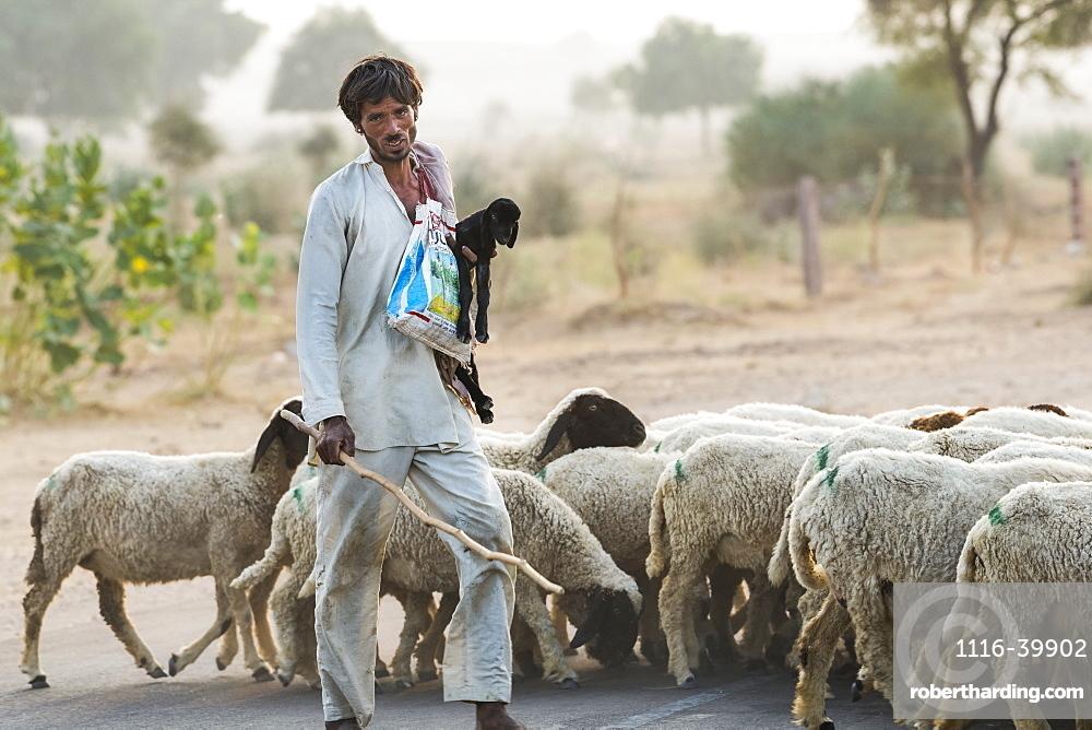 Man herding a flock of sheep along a road, Damodara, Rajasthan, India