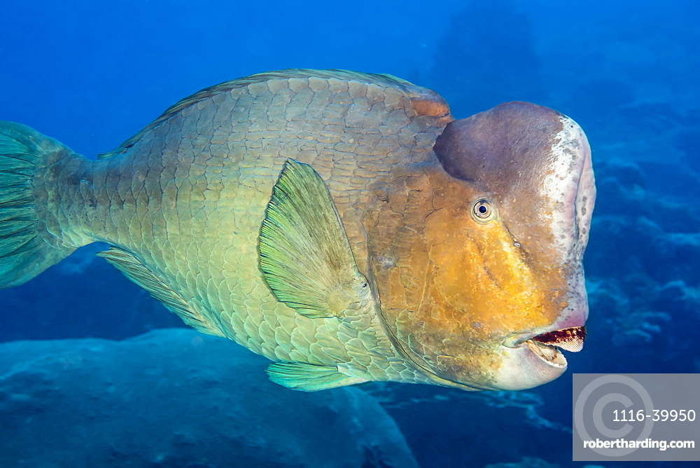 Bumphead parrotfish (Bolbometopon muricatum) are the largest species in this family and can reach 5 feet in length and over 160 pounds, Yap, Micronesia