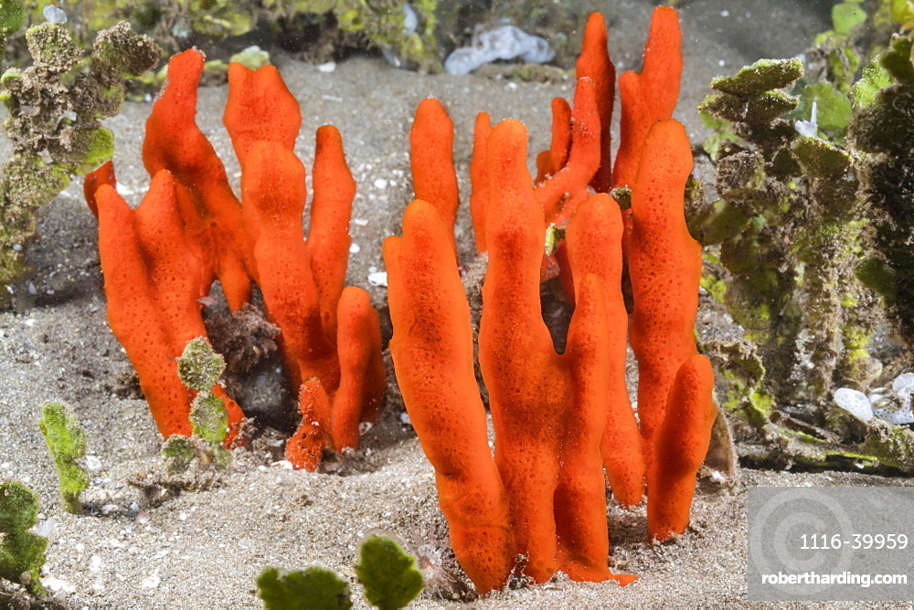 This red encrusting sponge (Clathria sp.) is the most common of this family found in Hawaii. Here it has covered the calcium carbonate-producing seaweed, Halimeda kanaloana, Hawaii, United States of America