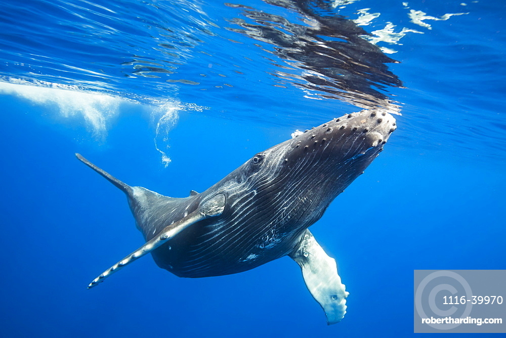 Humpback Whale (Megaptera novaeangliae) just about to break the surface to take a breath, Hawaii, United States of America