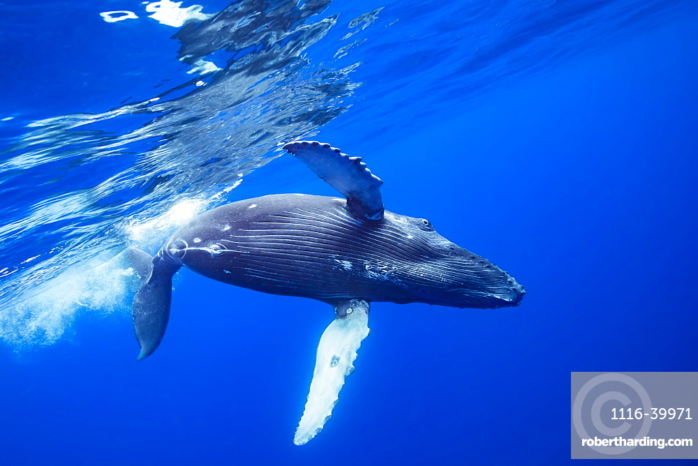 Humpback Whale (Megaptera novaeangliae) rolls over just below the surface, Hawaii, United States of America