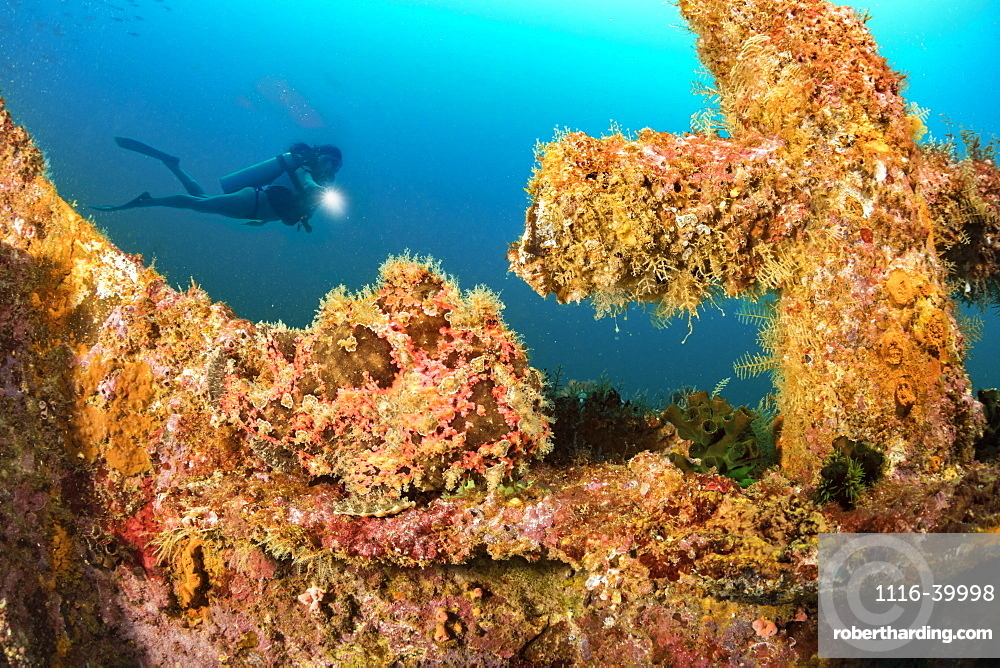 Diver and a well camouflaged Commerson's frogfish (Antennarius commersoni) perched at the bow of the wreck of the Alma Jane off Sabang Beach, Puerto Galera, Mindoro, Philippines.