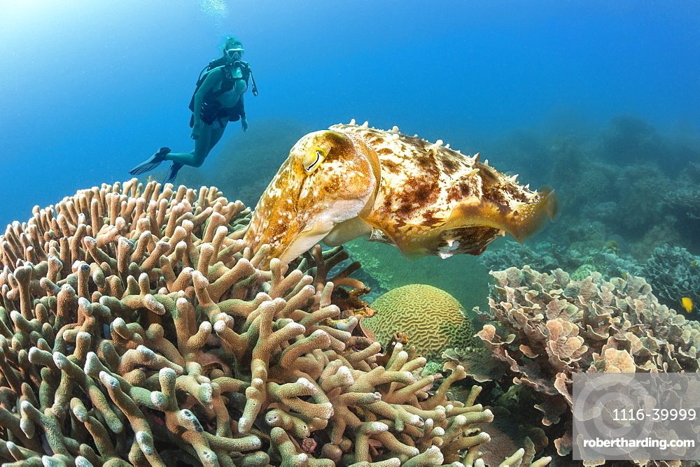 Diver viewing a female Broadclub cuttlefish (Sepia latimanus) pushing an egg into the finger coral where it will hatch in four to six weeks, Philippines