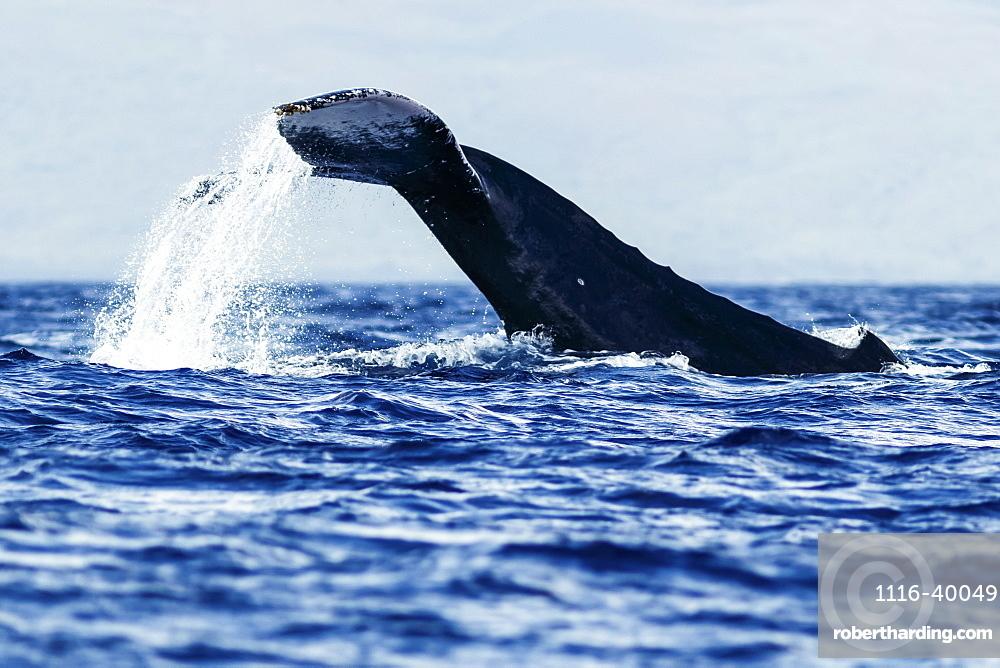 Humpback whale (Megaptera novaeangliae) tail slapping, Lahaina, Maui, Hawaii, United States of America