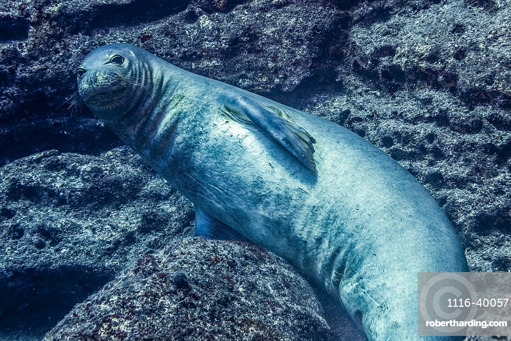 Endangered Hawaiian Monk Seal (Neomonachus schauinslandi) posing on the lava rock that is the submarine base of Pyramid Point of Lehua Rock located at the north end of Ni'ihau Island, Hawaii, USA during the spring, Hawaii, United States of America