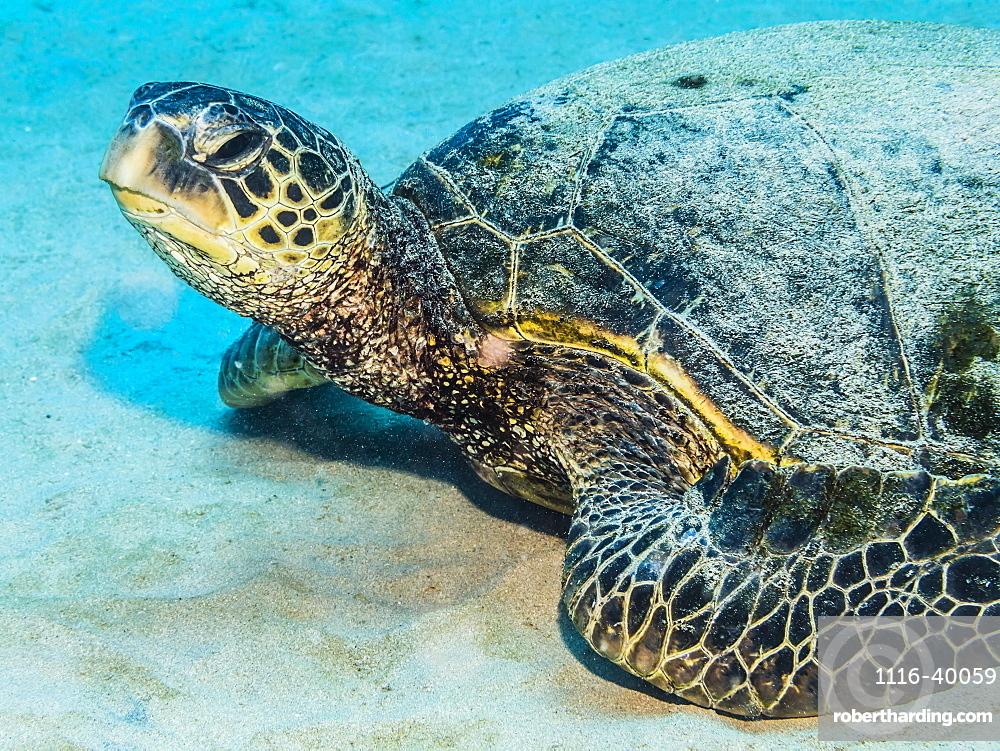Green Sea Turtle (Chelonia mydas) resting on a sandy bottom adjacent to Kauai, Hawaii, in the spring, Kauai, Hawaii, United States of America