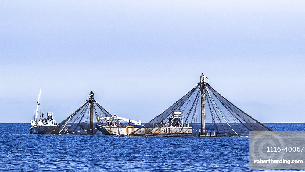 Harvesting fish from net pens belonging to Kampachi Farms offshore of Kona, the Big Island, Hawaii, during the summer, Island of Hawaii, Hawaii, United States of America