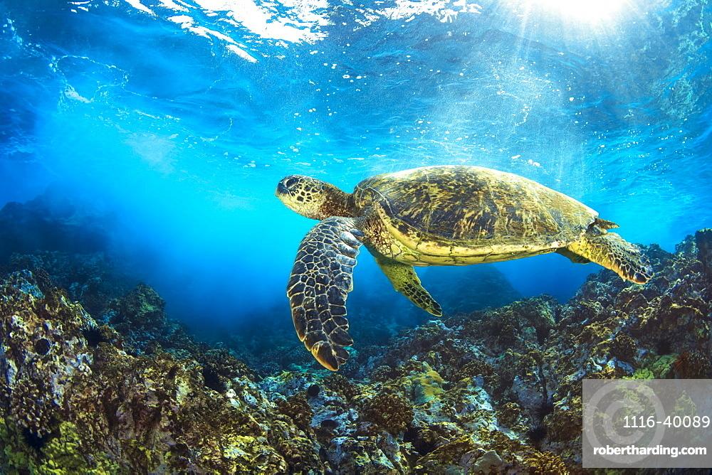Hawaiian Green Sea Turtle (Chelonia mydas) named 'Honu', Makena, Maui, Hawaii, United States of America