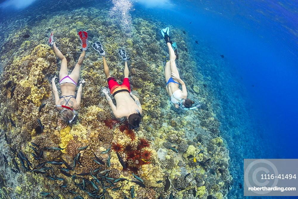 Slate pencil sea urchins (Heterocentrotus mammillatus) colour the hard coral in this Hawaiian reef scene with three free divers, Molokini Marine Preserve off the island of Maui, Maui, Hawaii, United States of America