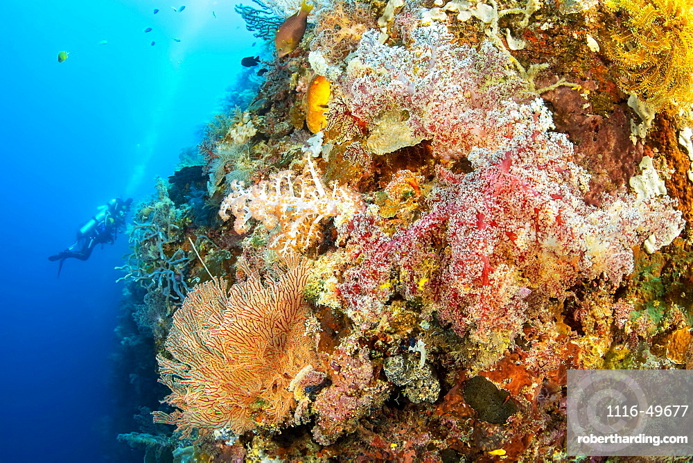 Divers explore a drop off covered with sponges and gorgonian and alcyonarian coral, Philippines