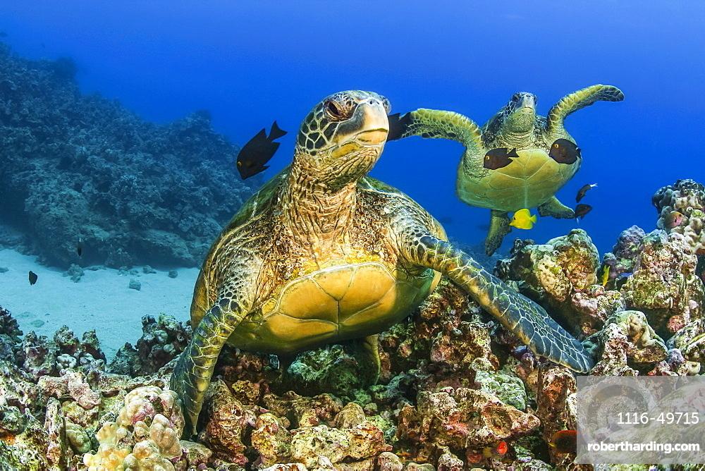 Green sea turtles (Chelonia mydas), an endangered species, Hawaii, United States of America