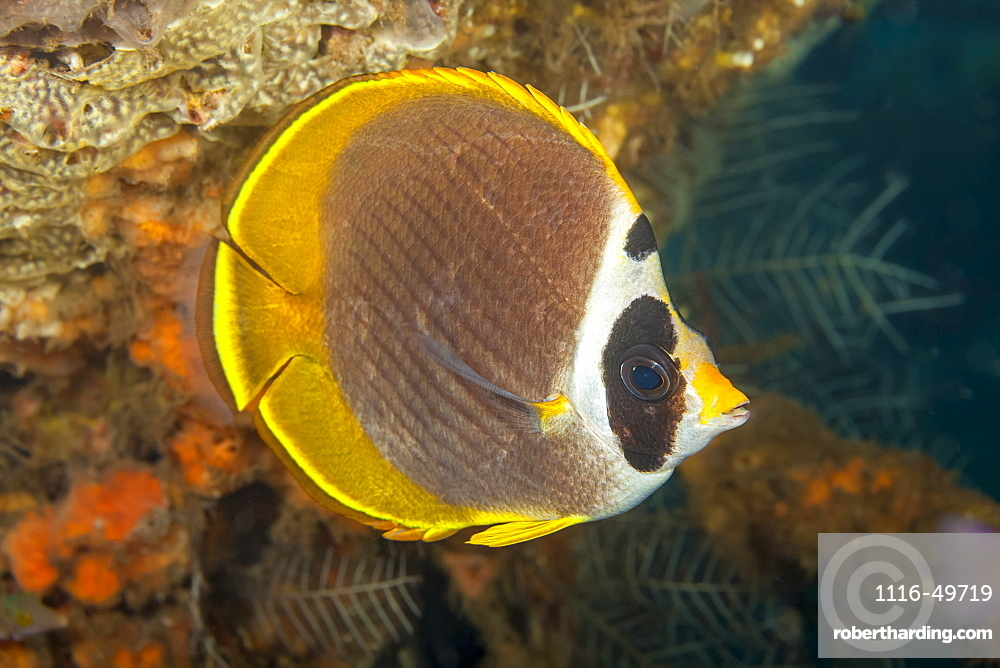 The Philippine butterflyfish (Chaetodon adiergastos) is also known as a Panda butterflyfish, Bali, Indonesia