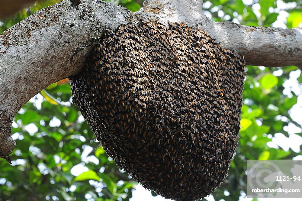 Rock bee hive (swarm), Karnataka, India, Asia