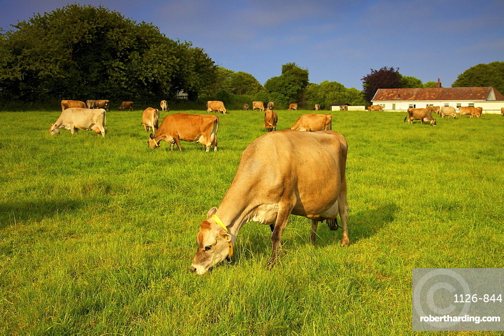 Jersey Cattle, Jersey, Channel Islands, Europe