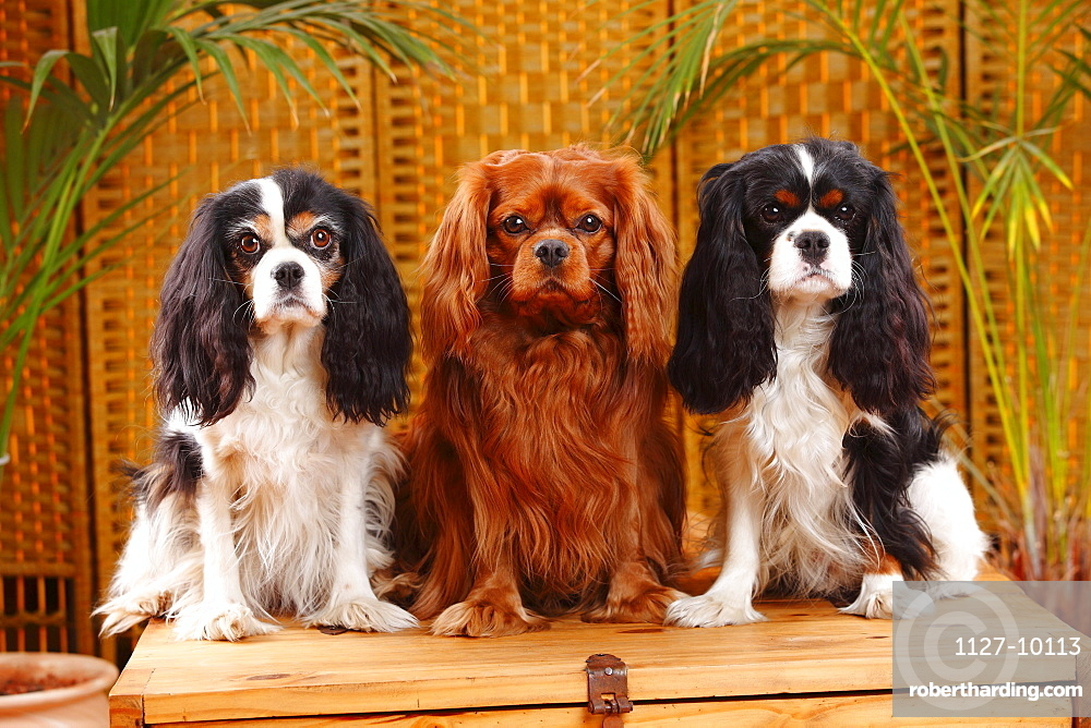 Cavalier King Charles Spaniel, tricolour and ruby